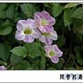 赤道櫻草.jpg