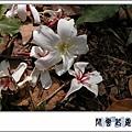 油桐花.jpg