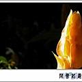 黃蝦花7.jpg