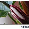 蔓綠絨 綠巨人f10.jpg