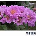 大花紫薇 4.jpg
