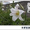 台灣百合s05.jpg