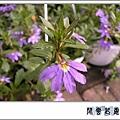 紫扇01.jpg