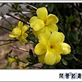 迎春花a5.jpg