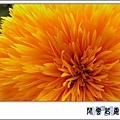 向日葵 重瓣c05.jpg