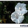 白花槭葉牽牛f3.jpg