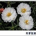 松葉牡丹w03.jpg