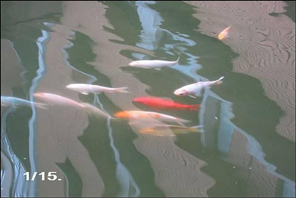 5.9.13.魚池 001-1