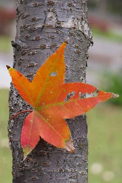 red leaf 4x6