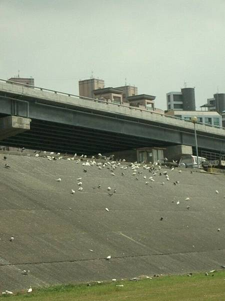 堤防上的鴿子