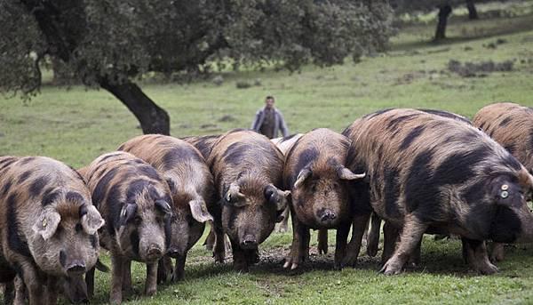 伊比利豬.jpg