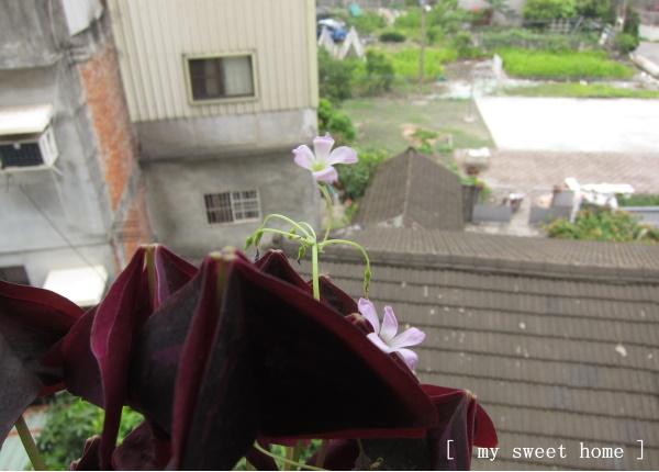 紫色幸運草.jpg