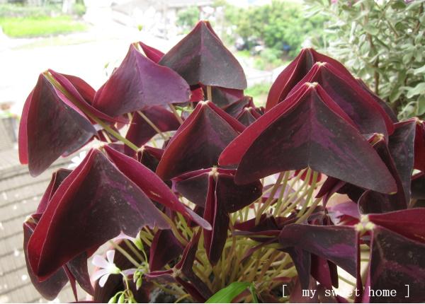 紫色幸運草一.jpg