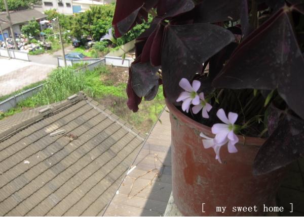 紫色幸運草三.jpg