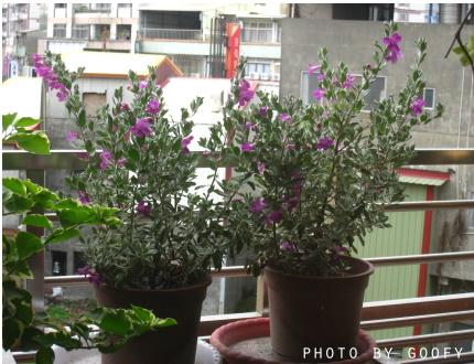 陽台上的玉芙蓉一.jpg