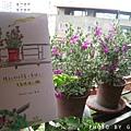 陽台上的玉芙蓉二.jpg