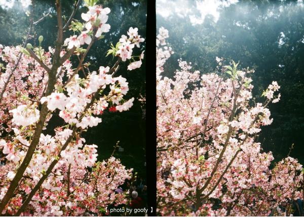 花現,一團粉嫩三.jpg