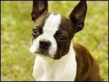 波士頓梗犬