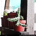 20120901_蘿藦花苞1s 拷貝