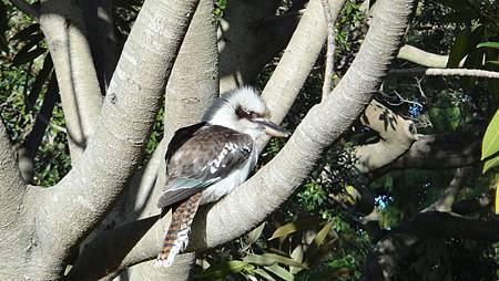 可愛的大頭鳥KOOKABURRA_修