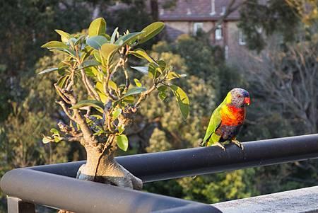 彩虹鸚鵡是雪梨居民的常客