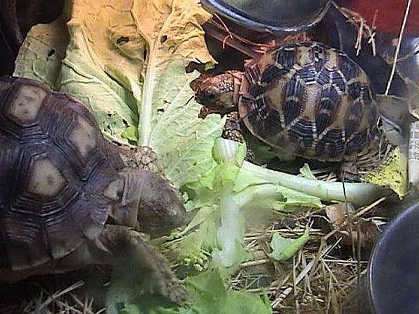 蘇卡達和星龜