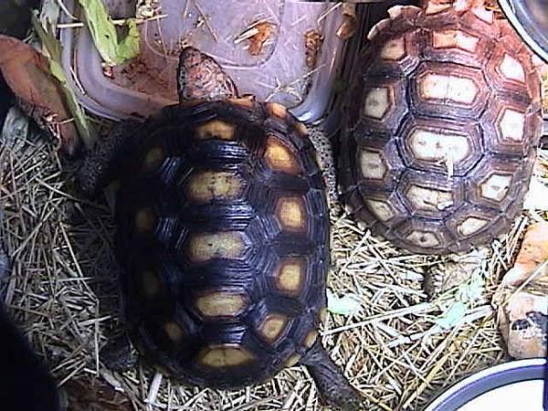 櫻桃和蘇卡達象龜