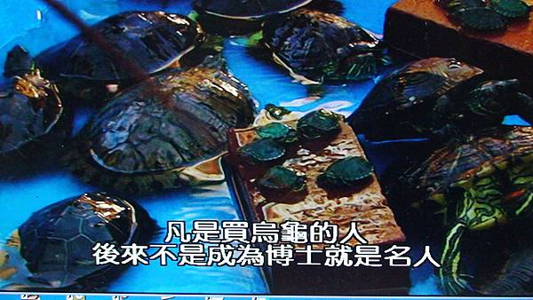 養烏龜者勝出