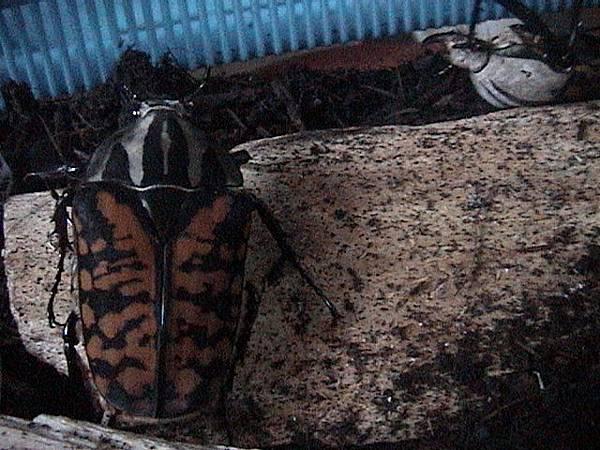 歐貝魯花金龜