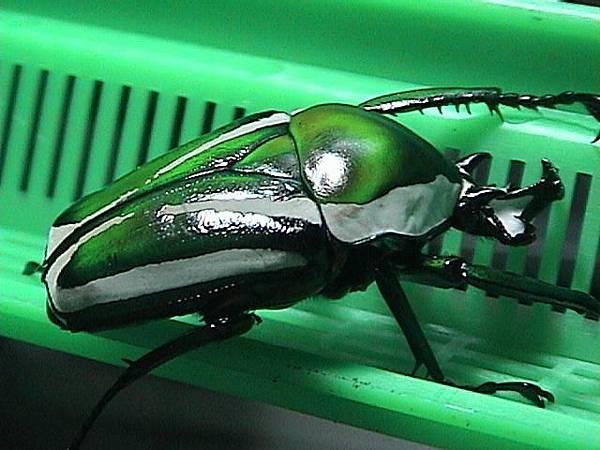 白條綠花金龜