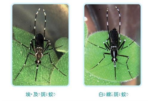 埃及斑蚊.jpg
