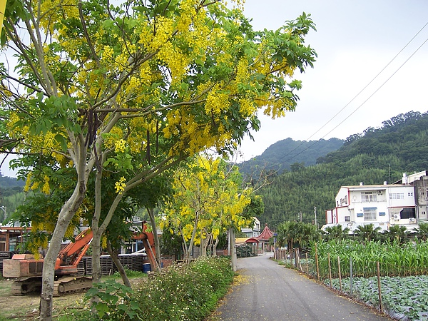 黃金雨的道路非常漂亮