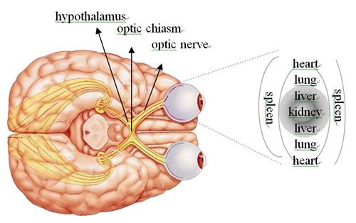下視丘、視神經交叉、視神經與眼球連結之腹面內視圖