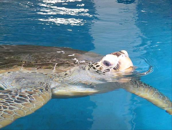 水族實驗中心_2_海龜收容中心為本館執行保育類水生動物救傷與收容業務的主要區域之一,將由解說員帶領民眾認識這些海中遊俠奇妙的生態特性