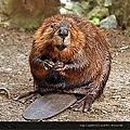 200px-American_Beaver.jpg