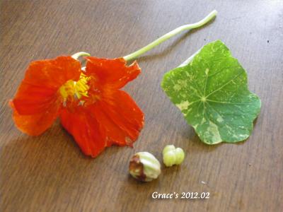 金蓮花種子