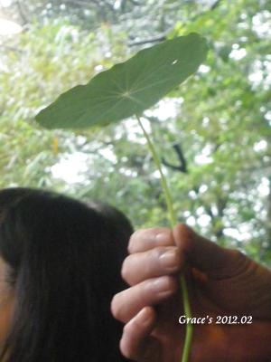 布佬金蓮花1