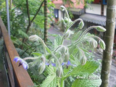 琉璃苣開花
