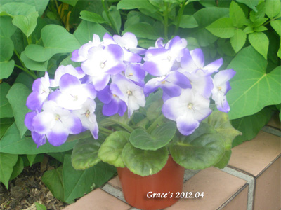 單瓣非洲菫