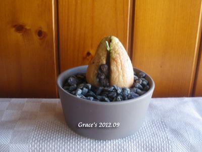 種子盆栽_酪梨8