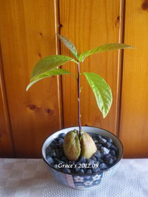 種子盆栽_酪梨5