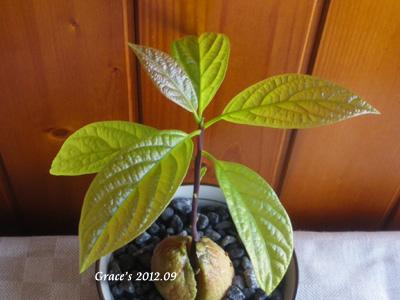 種子盆栽_酪梨6