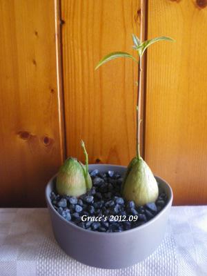 種子盆栽_酪梨7