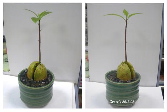 種子盆栽_酪梨3