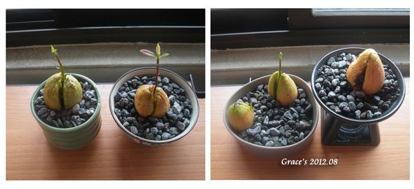 種子盆栽_酪梨2