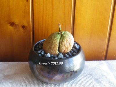 種子盆栽_酪梨10
