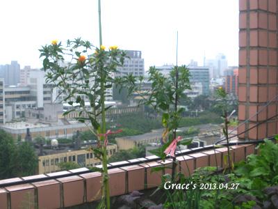 川紅花_04272