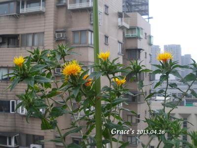 川紅花_04263