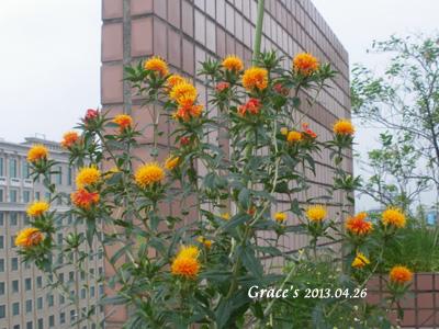 川紅花_0426
