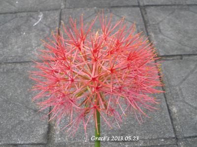 火球花_1020523